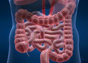Модель кишечника