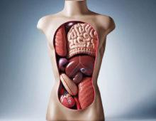 Анатомическая модель