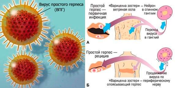 Развитие вируса