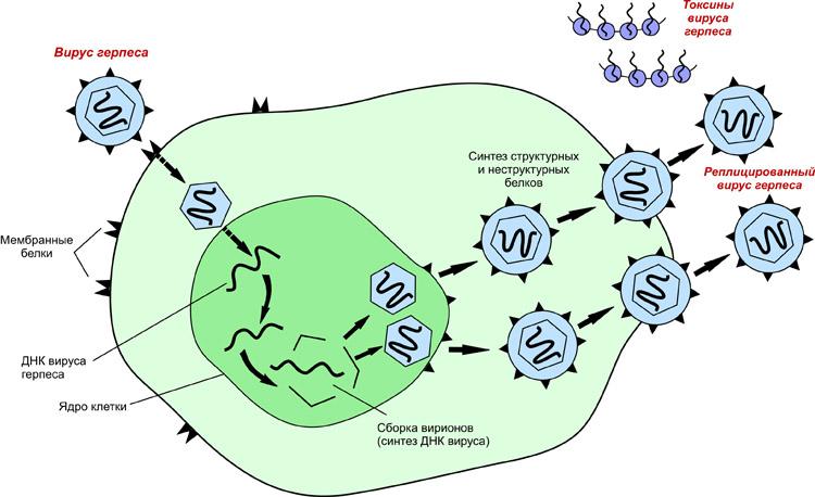 Действие вируса на клетку